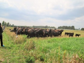 Chris Knight's Black Angus cattle anxiously await being let into the next lush field