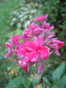 Phlox in the rain